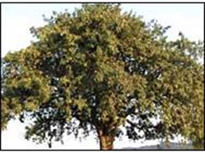 350 yıllık armut ağacı devrildi